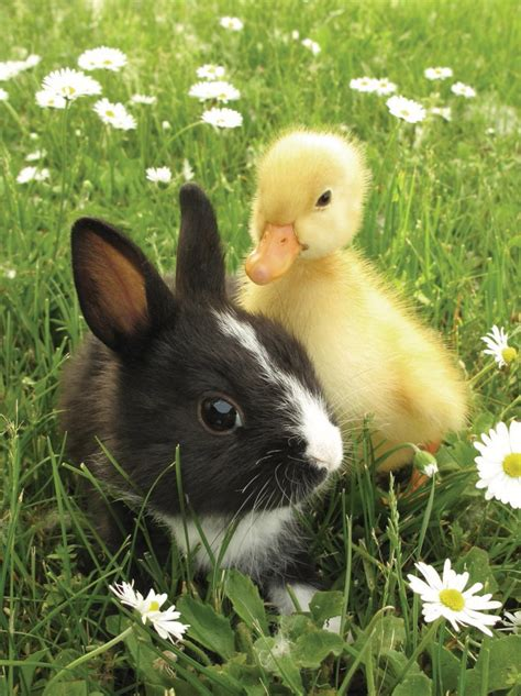 bunny and duckling photos animal couples ny