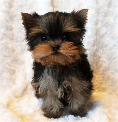 micro teacup yorkie grown tiny teacup yorkie puppy iheartteacups iheartteacups