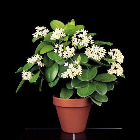 wax plant subspecies hoya australis