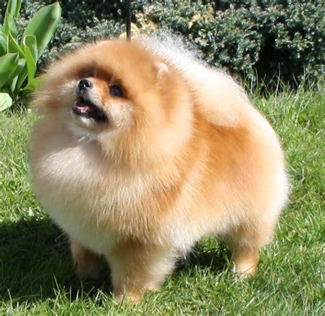 pomeranian pa storleken p 229 pomeranian hunden varierar