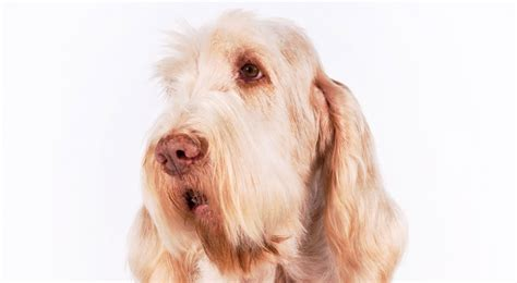 akc breeds spinone italiano breed information american kennel club