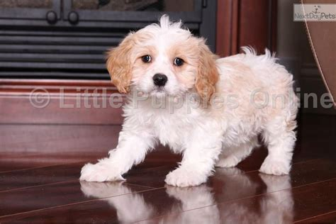 cavachon puppies ohio cavachon puppy for sale near columbus ohio 022da654 f9b1