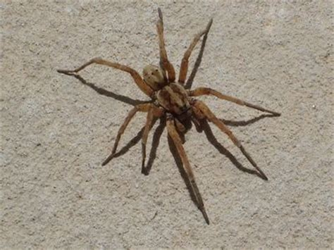 how to get rid of spiders in house how to get rid of wolf spiders in the house