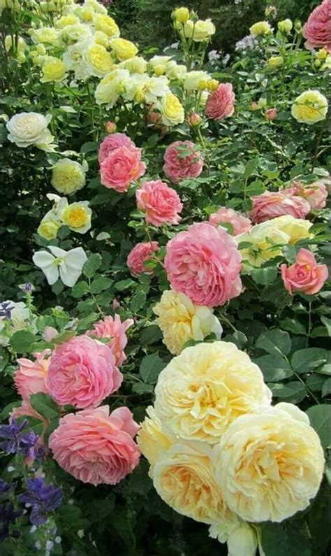 rdad al alshykh beautiful flowers rose garden rose plant