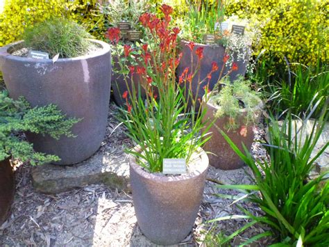 Houses With Courtyards by Best Australian Native Plants For Pots And Containers