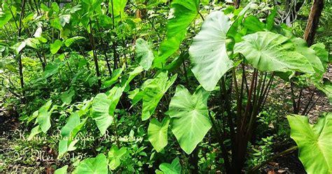 Gc Gc6048 Coklat Muda Kuning kebun bahagia bersama transferred taro