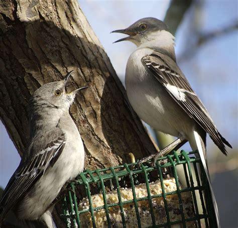 wild about birds backyard birds northern mockingbird