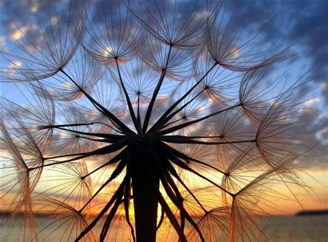 sunset   dandelion seed pod cool amazing
