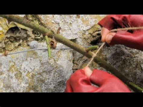 how to prune a rambling rose youtube