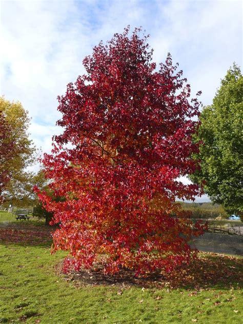 american maple tree uk american sweetgum liquidambar styraciflua tree seeds ebay