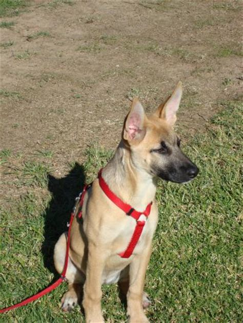 belgian malinois german shepherd mix belgian shepherd malinois mix quotes