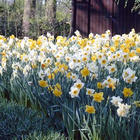daffodil naturalizing mix deer resistant and great in