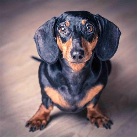 dachshund puppies idaho dachshund puppy wallpaper android apps on play