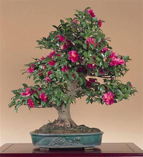 bonsai da fiore cura dei bonsai sempreverdi spoglianti da fiore e da