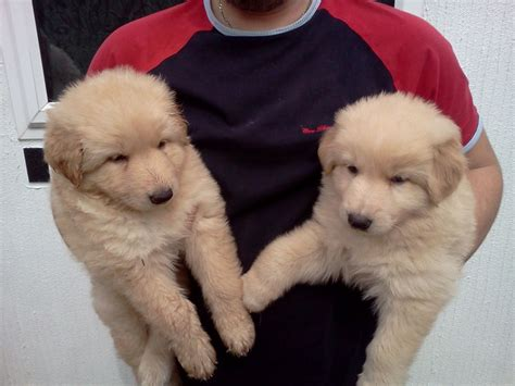 white golden retriever puppies for sale in bangalore german shepherd puppies buy uk dogs our friends photo