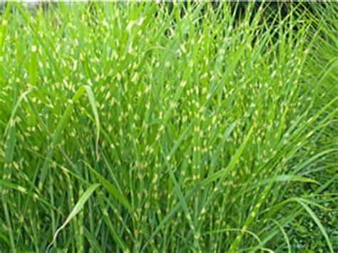 garten gräser schneiden zebragras miscanthus pflanzen pflege und schneiden