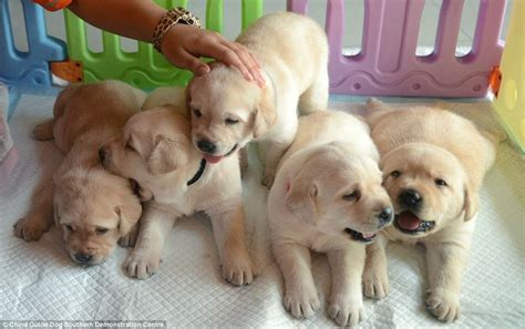 Puppies Born Blind Baby Guide Dogs Make Public Debut In China Daily Mail Online