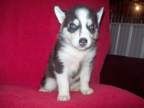 forever puppy husky husky nation forever beautiful siberian husky puppies available now breeders