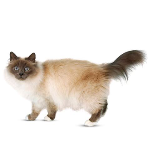ragdoll cat lifespan lifespan of a birman cat about animals