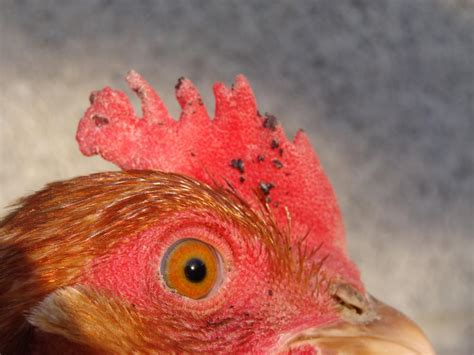 can i have chickens in my backyard can i have chickens in my backyard at what age does a