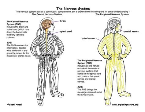 diagram of central and peripheral nervous system central nervous system vs peripheral nervous system