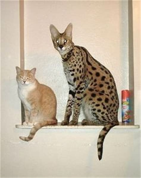 savannah cat breed information facts  pictures
