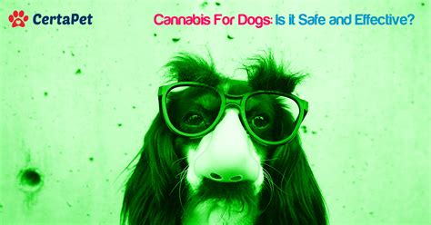 cannabis for dogs cannabis for dogs is it safe and effective certapet