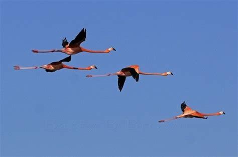 do flamingos fly quora