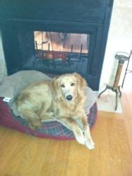 golden retriever dallas tx pa leo is an adoptable goldendoodle in harleysville pa our adoptable dogs