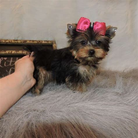 miniature yorkie pictures yorkie puppy new york breeds picture