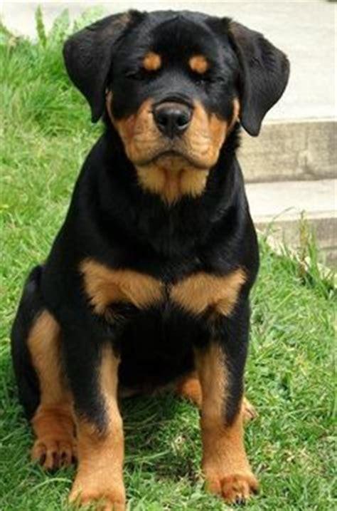 shiba rottweiler mix buffy the shiba inu mix rottweiler adorable pups rottweiler mix