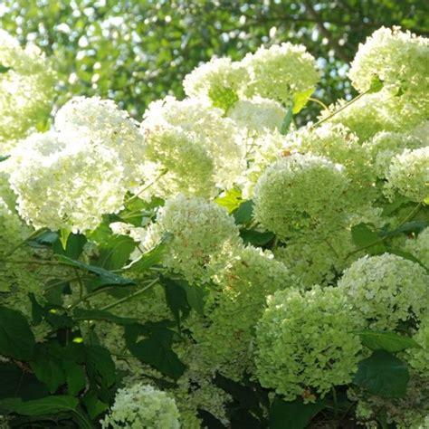 agréable Les Bordures De Jardin #3: 7943-hortensia-annabelle.jpg