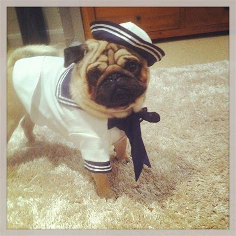 pug sailor mr sailor pug pugs