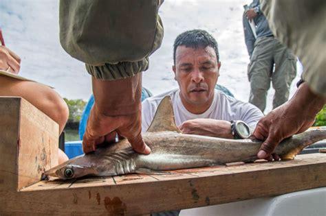 baby shark central park rare hammerhead shark nursery discovered in the galapagos