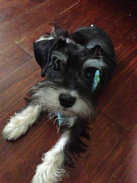 pictures of schnauzers with skirt haircut standard schnauzer cut with skirt yelp