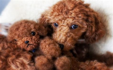 puppies that look like bears 20 dogs that look way much like teddy bears
