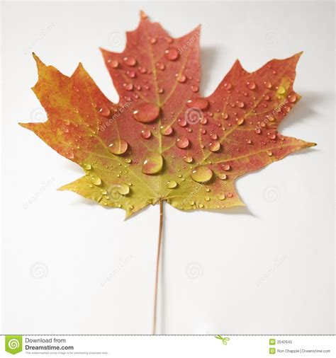 maple leaf  fall color royalty  stock photo image