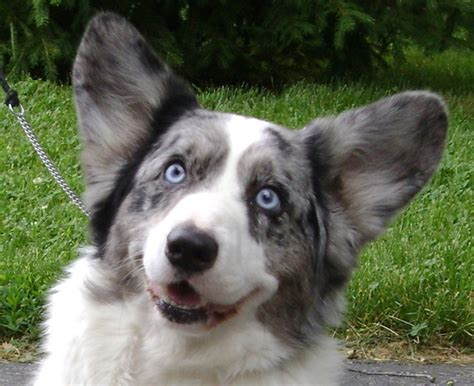 corgi puppies for sale in arkansas blue merle corgi puppies for sale breeds picture