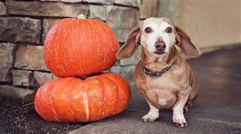 pumpkin and dogs image gallery pumpkin