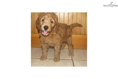 goldendoodle puppy orlando goldendoodle for sale for 1 500 near orlando florida
