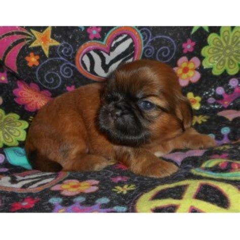 shih tzu breeders in chicago sg puppies shih tzu breeder in west chicago illinois listing id 10564
