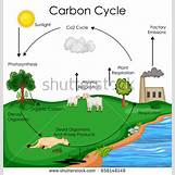 Oxygen And Carbon Dioxide Cycle Simple   450 x 470 jpeg 56kB