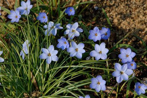 blue flower bulbs 5 heirloom bulbs to plant this fall hgtv