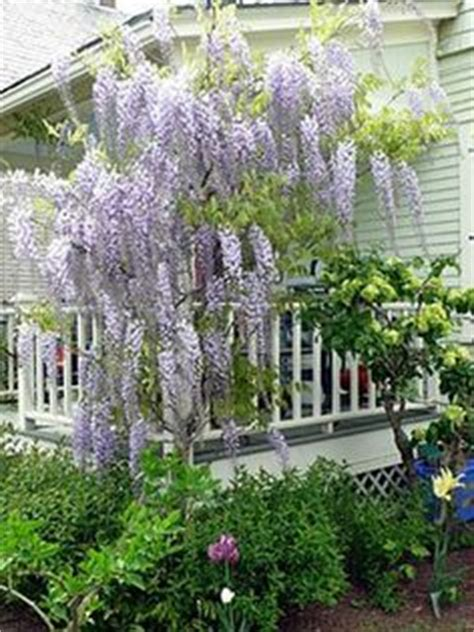 gardening on the porch pruning snowball viburnum large white pom poms on a