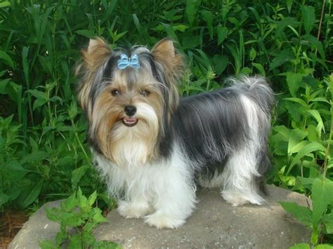 biewer terrier haircuts 47 best images about biewer terrier on pinterest