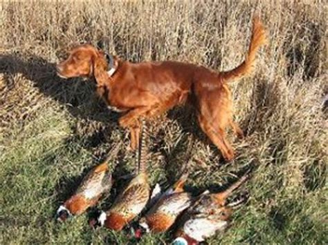 red setter gun dog irish setter irish setters for sale irish setters at stud