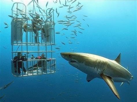 dive with sharks in south africa fly fighter jets more shark diving seal island false bay western cape south africa