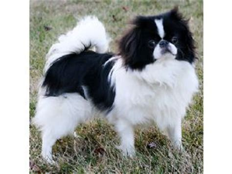 japanese chin puppies for sale japanese chin puppies for sale