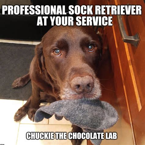 Labrador Meme - brown dog meme www pixshark com images galleries with