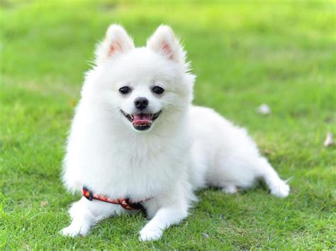 small white pomeranian puppies types of small dogs that are so you ll cry with